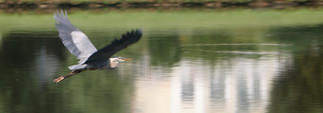 Bird Flying over Pond