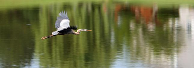 Heron Flying over Pond
