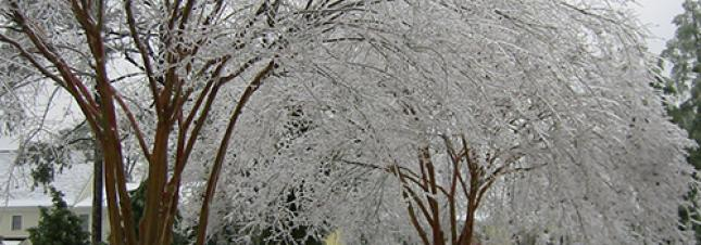 Crepe Myrtles Covered in Ice